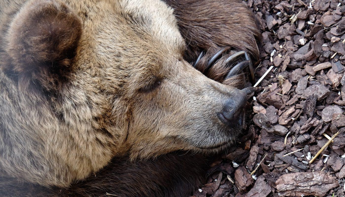 The Slumbering Bear